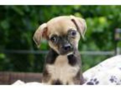 Adopt Jayla a Brown/Chocolate - with Tan Pug / Boston Terrier / Mixed dog in