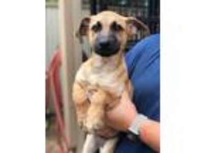Adopt Rusty a Tricolor (Tan/Brown & Black & White) German Shepherd Dog / Mixed