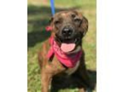 Adopt Jenny a Mountain Cur, Staffordshire Bull Terrier