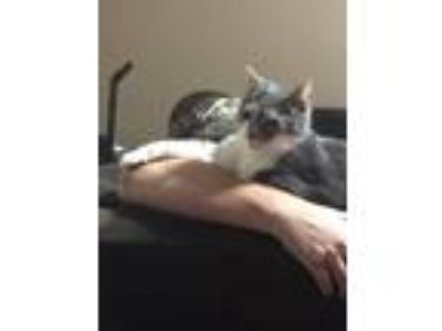 Adopt ZCL Kitty a Gray or Blue (Mostly) Domestic Shorthair / Mixed (short coat)