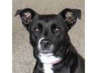 Adopt Wednesday a Black Retriever (Unknown Type) dog in Middletown