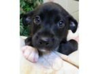Adopt Rollie a Black - with White Labrador Retriever / Mixed dog in Carrollton