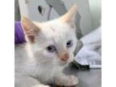 Adopt Knope a Siamese, Domestic Short Hair