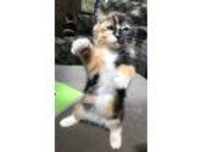 Adopt Tuppence a Domestic Longhair / Mixed cat in Silverdale, WA (25372681)