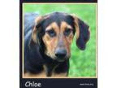 Adopt Chloe a Black Mixed Breed (Large) / Mixed dog in Sullivan, IN (23421734)