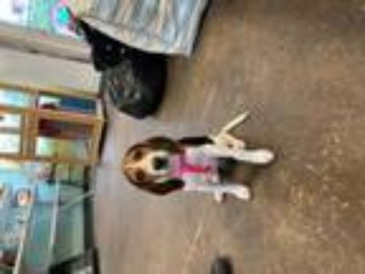 Adopt Puppy Lucy a Beagle