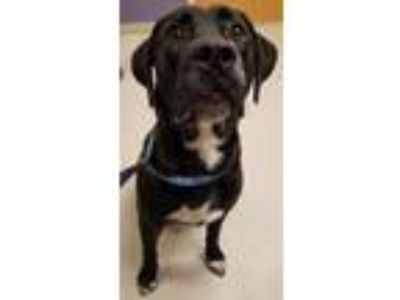 Adopt Orion a Labrador Retriever, Mixed Breed