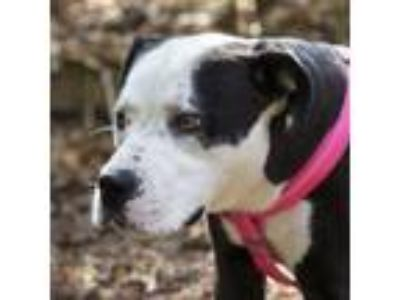 Adopt Petey a Black American Pit Bull Terrier / Mixed dog in Lynnwood