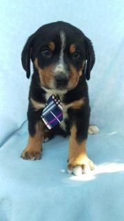 Greater Swiss Mountain Dog PUPPY FOR SALE ADN-93380 - AKC Greater Swiss Mountain Dog Puppy