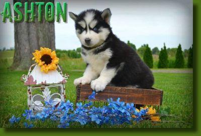 Ashton Male ACA Siberian Husky