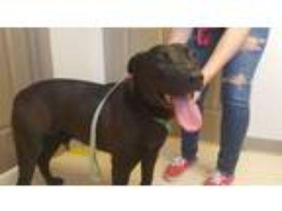 Adopt Doogie a Labrador Retriever