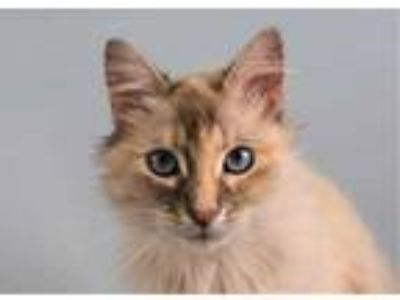 Adopt ARWEN a White (Mostly) Domestic Mediumhair / Mixed (medium coat) cat in