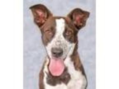 Adopt Sea & Ski a Australian Cattle Dog / Blue Heeler