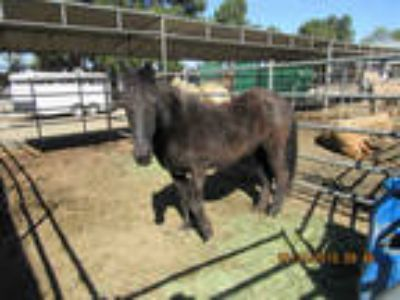 Adopt LA NEIGA a Black Other/Unknown / Mixed horse in Norco, CA (24883547)