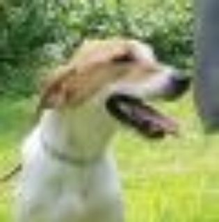 Temple Jack Russell Terrier (Parson) Dog
