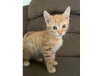 Adopt Red a Orange or Red Domestic Shorthair / Mixed (short coat) cat in