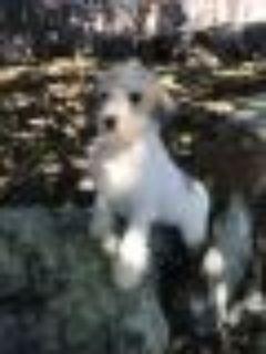 Chuck Norris Maltese - Schnauzer Dog