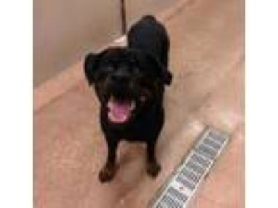 Adopt Scarlet a Black Rottweiler / Mixed dog in Fort Worth, TX (25861824)