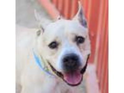 Adopt ZUKOH a Tan/Yellow/Fawn American Pit Bull Terrier / Mixed dog in Las