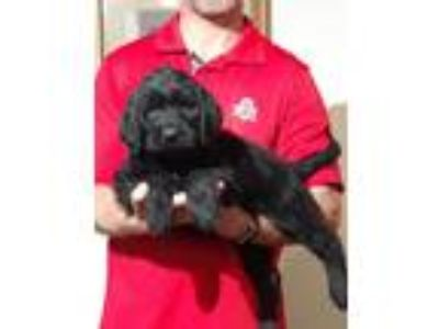 Adopt Stuart a Black Labrador Retriever / Poodle (Standard) / Mixed dog in