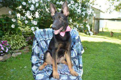 German Shepherd Dog PUPPY FOR SALE ADN-87877 - Samantha