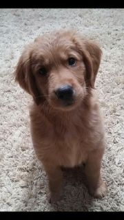 Golden Retriever PUPPY FOR SALE ADN-71426 - AKC Golden Retrievers