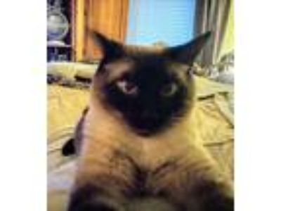 Adopt Bailey a Brown or Chocolate (Mostly) Siamese cat in Orangevale