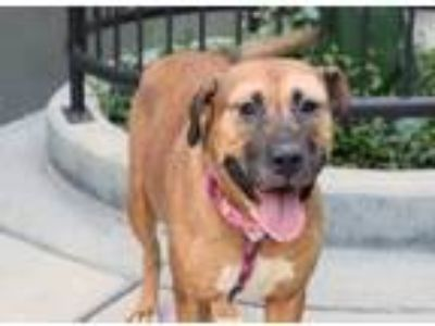 Adopt Speedy a Brown/Chocolate American Pit Bull Terrier / Mixed dog in Chicago
