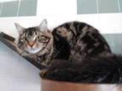 Adopt Rafiki a Brown or Chocolate Domestic Shorthair / Domestic Shorthair /