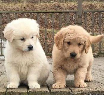 English Cream Golden Retriever puppy for you now
