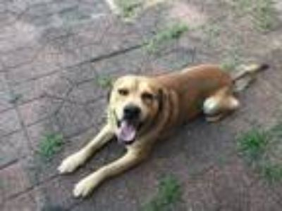 Adopt Tyler a Tan/Yellow/Fawn - with White Labrador Retriever / Tibetan Mastiff