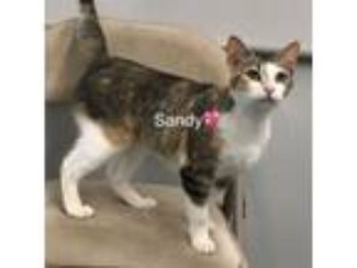 Adopt Sandy a Domestic Short Hair, Tabby