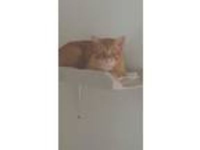 Adopt Chester a Orange or Red (Mostly) Domestic Shorthair (short coat) cat in