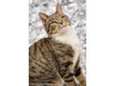 Adopt Bethany a Tiger Striped Domestic Shorthair (short coat) cat in