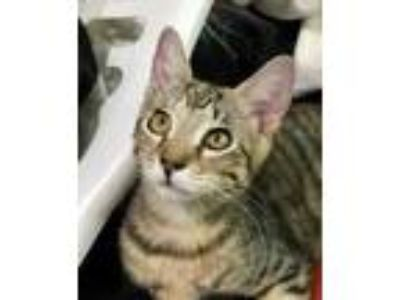 Adopt Mitzi a Brown or Chocolate Domestic Shorthair / Domestic Shorthair / Mixed