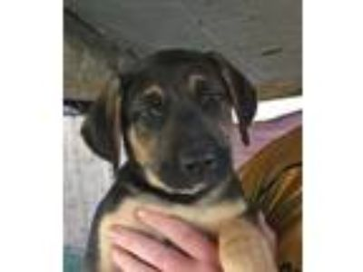 Adopt Morphius Puppy a German Shepherd Dog