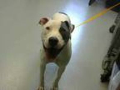Adopt CRYSTAL a White American Pit Bull Terrier / Mixed dog in Fayetteville