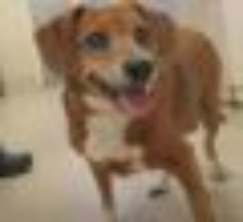 GG Beagle - Cocker Spaniel Dog