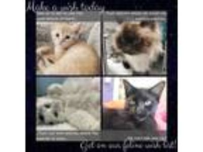 Adopt How to Adopt a Kitten! a Domestic Short Hair