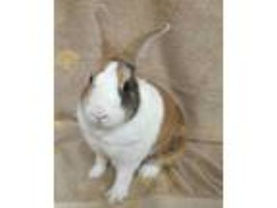 Adopt Nala a Tan Dutch / Dutch / Mixed rabbit in Bend, OR (25321465)