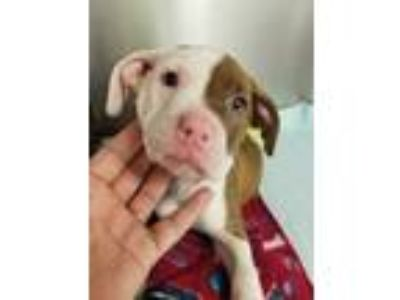 Adopt Dotty a Brown/Chocolate American Pit Bull Terrier / Mixed dog in Irving