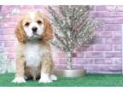 King Male AKC Cocker Spaniel Puppy