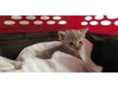 Adopt AUDREY a Gray or Blue Domestic Shorthair / Mixed (short coat) cat in Fort