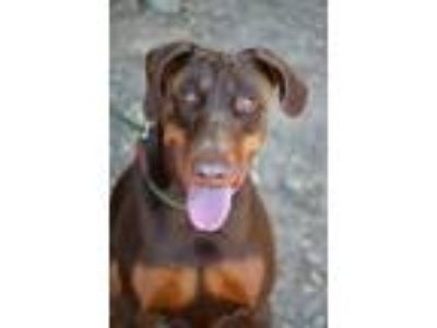 Adopt Jules a Brown/Chocolate - with Tan Doberman Pinscher / Mixed dog in