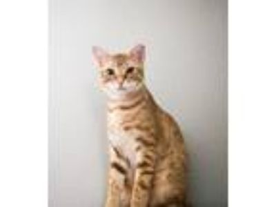 Adopt Benjamin a Domestic Short Hair, Tabby