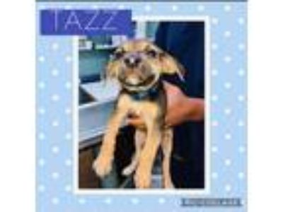 Adopt Tazz a German Shepherd Dog, Labrador Retriever