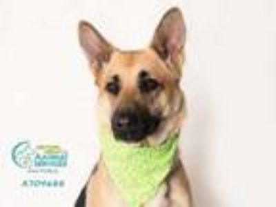 Adopt *KAYA a Brown/Chocolate - with Black German Shepherd Dog / Mixed dog in