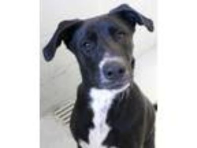 Adopt Winnie a Black Labrador Retriever / Mixed dog in Victoria, TX (24068866)