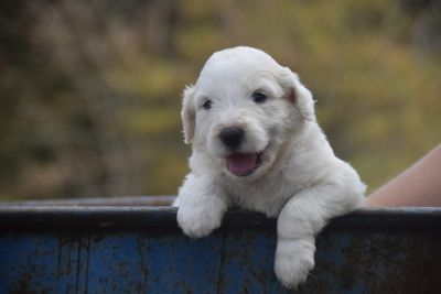Pyredoodle PUPPY FOR SALE ADN-92727 - F1 Pyredoodles