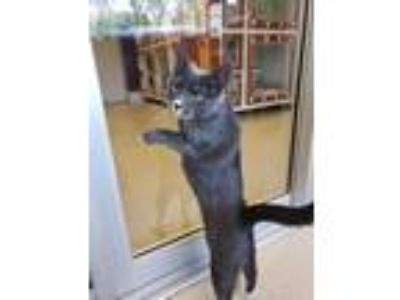 Adopt Mollee a Gray or Blue Domestic Shorthair / Domestic Shorthair / Mixed cat